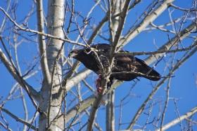 Juvenile eagle enjoying a snack