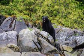 Black bear in Kwatsi Bay