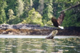 Eagle watching in Booker Lagoon