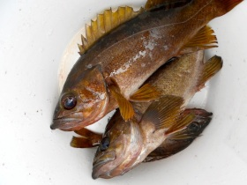 Rockfish for dinner anyone?