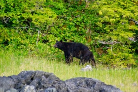 My morning bear friend checking out the blueberrie