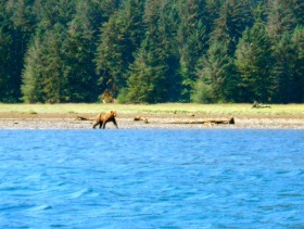 Grizzly playing and fishing on the beach