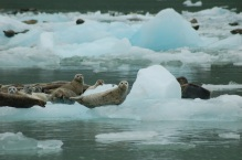 Lots of seals with their pups