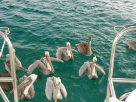 Pelicans on patrol