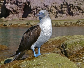 Blue footed booby!!