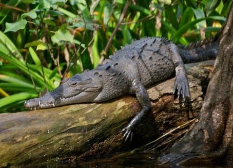 Croc having a snooze