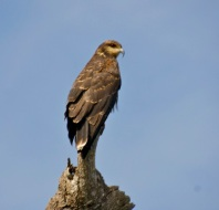 A hawk or an eagle..not sure