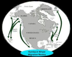 humpback_migration