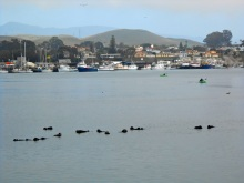 Sea otters in Morro Bay