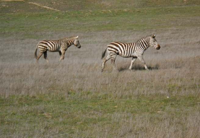 Wild zebras in California!