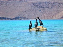 Three cormorants on a rock..one fell off and...!
