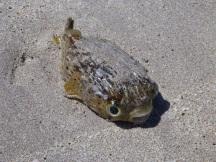 Stranded porcupine fish