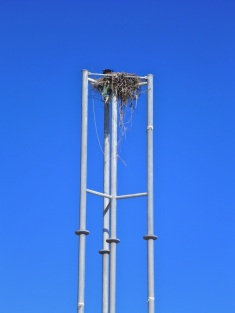 There are four or five osprey in this nest