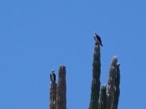 Osprey in the cacti