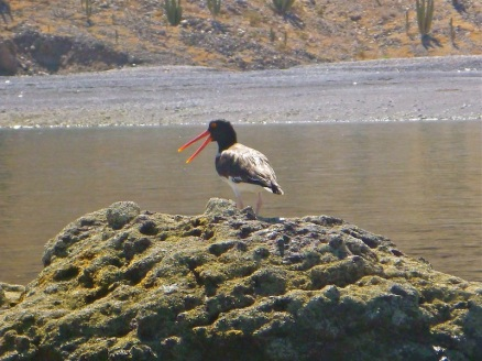 Some sort of oyster catcher?
