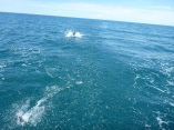 That's a pilot whale chasing the skip jack on our line! He came right up to the boat!!