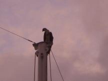 Our neighborly osprey