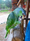 Pancho the parrot