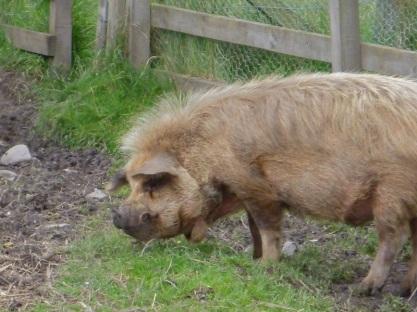 Really fuzzy pig!