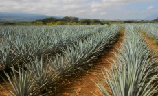 Miles and miles of agave azul