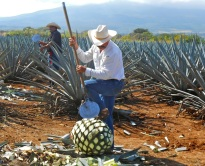 "The ""pineapple"" that is cooked, and the juice becomes tequila"