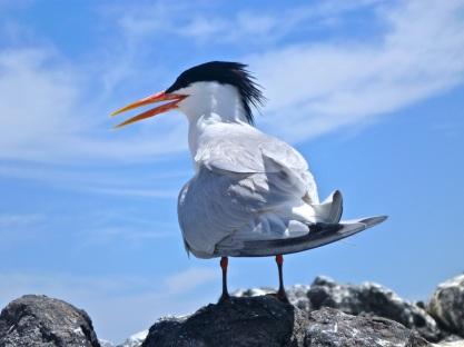 Beautiful Tern
