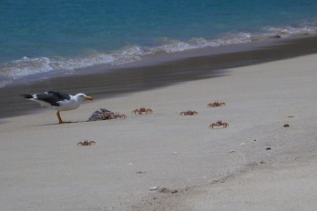 Crabs vs seagull