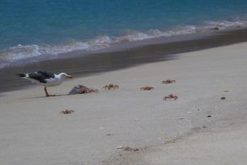 Crabs vs seagull