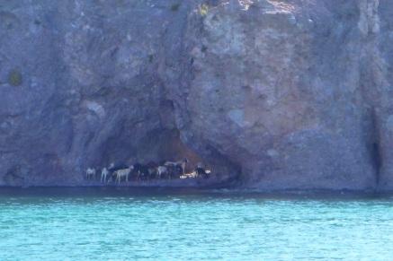 Goats doing a u-turn