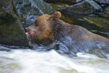 Gorging on salmon