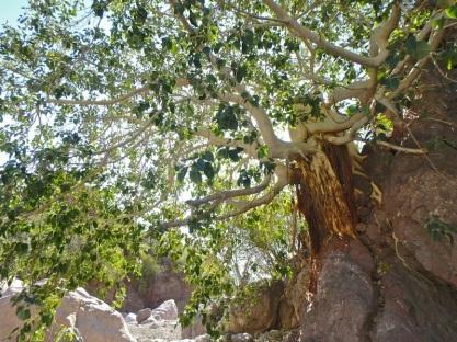 Beautiful fig tree