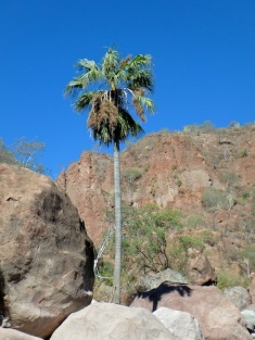 A date palm in the rocks