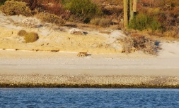 Coyote on the beach