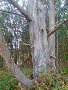 Beautiful eucalyptus forest