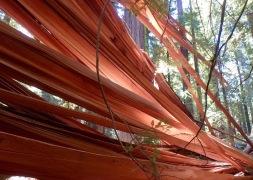 Yep...red wood...this one fell last winter
