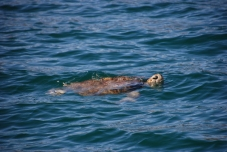 Turtle friends in Caleta Partida