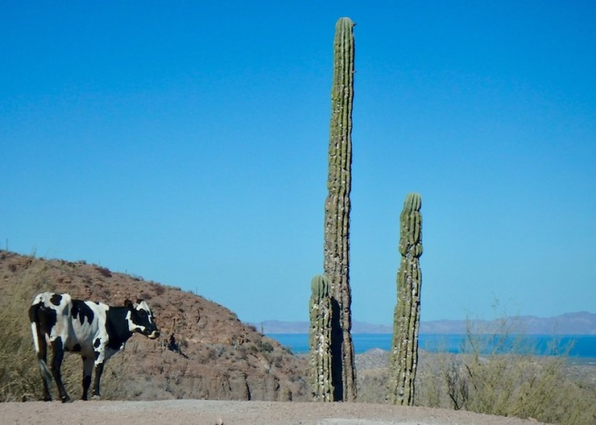 Vaca enjoying the view of the Sea of Cortez