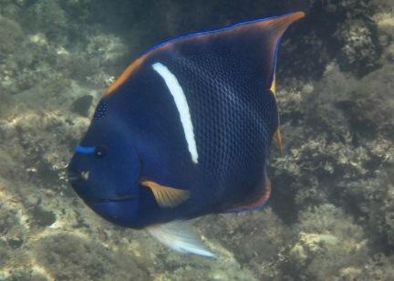 Angelfish King
