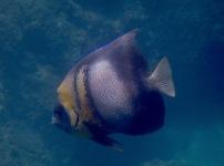 Angelfish Cortez