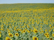 Sunflowers EVERYWHERE!!