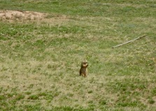 One of 27 billion prairie dogs