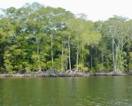 Huge mangroves along the estuary