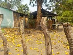 An embarassment of mangos...