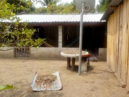 Drying cashews