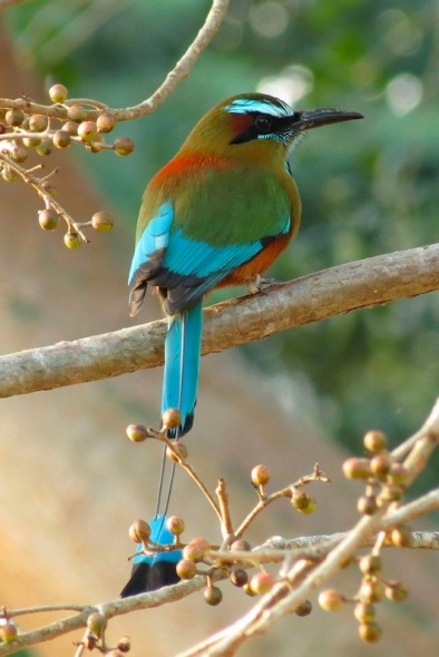 Motmot...(not my photo)