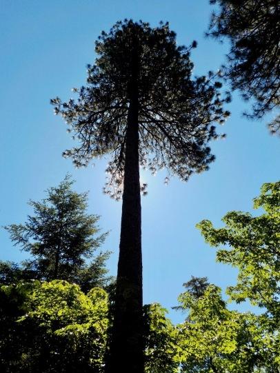 Pine trees!!!!