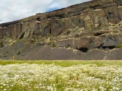Northrup Canyon..gazillion daisies
