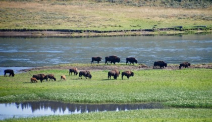 Bison eating by the river