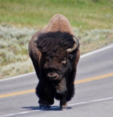 Bison owning the road!
