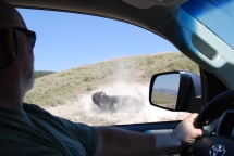 Bison rolling in dust